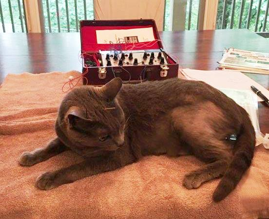 Acupuncture with feline patient
